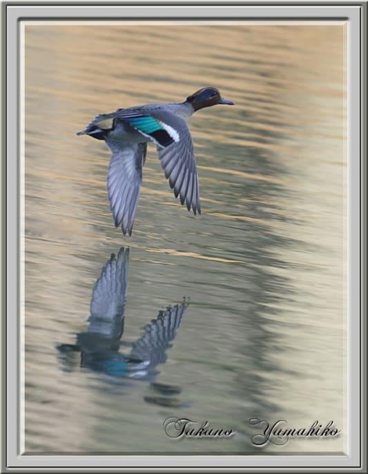 初冬の水鳥達ーーマガモ、コガモ、カイツブリ、ホシハジロ    —13.12.23—