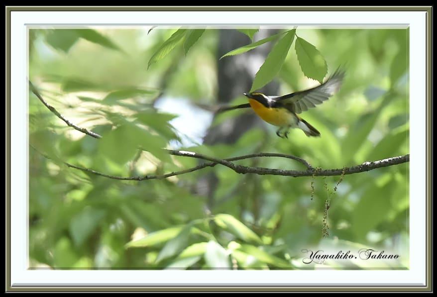 キビタキ(Narusisus Flycatcher)♂     —14.4.22—