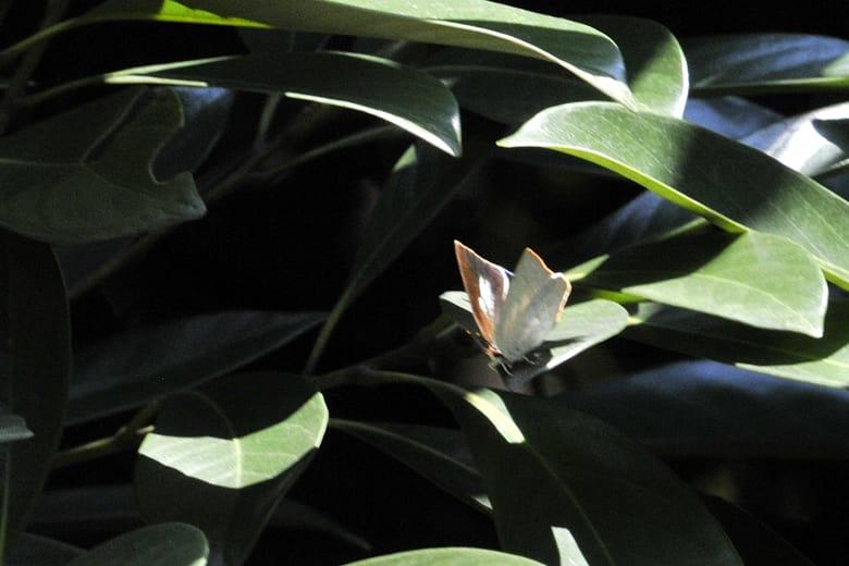 秋の蝶・・・ウラギンシジミ、ムラサキツバメ、ヒカゲ蝶他(08.10.2)