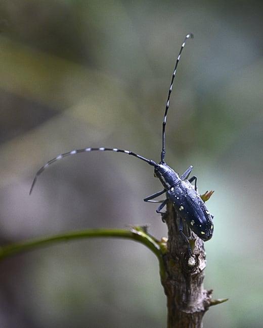 キボシカミキリムシ(Psacothea hilaris hilaris )       —15.10.23—