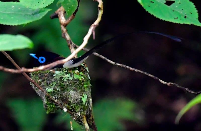 サンコウチョウ(Japanese Paradise Flycatcher)  —2018.6.26—