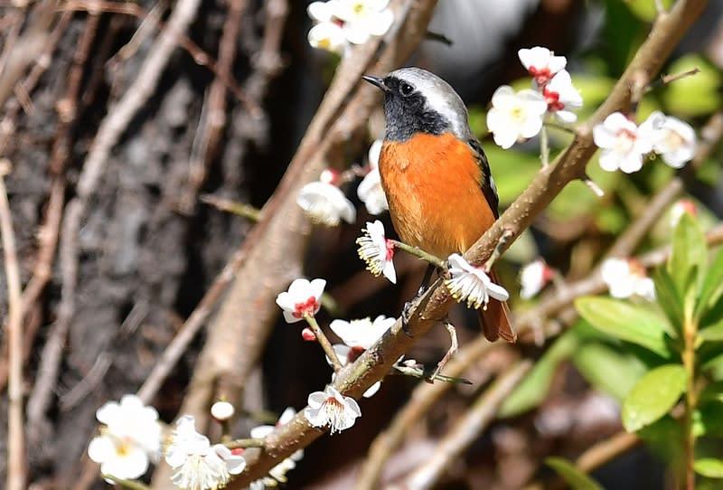 ジョウビタキ(Daurian Redstart)♂ — 2018,2.22—