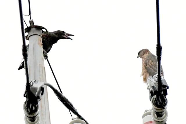 オオタカ(Northern Goshawk) 幼鳥のカラスとのにらみ合い   —2017.7.26—