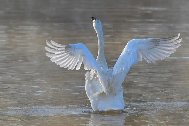 コハクチョウ(Tundra Swan)       — 2018.1.14—
