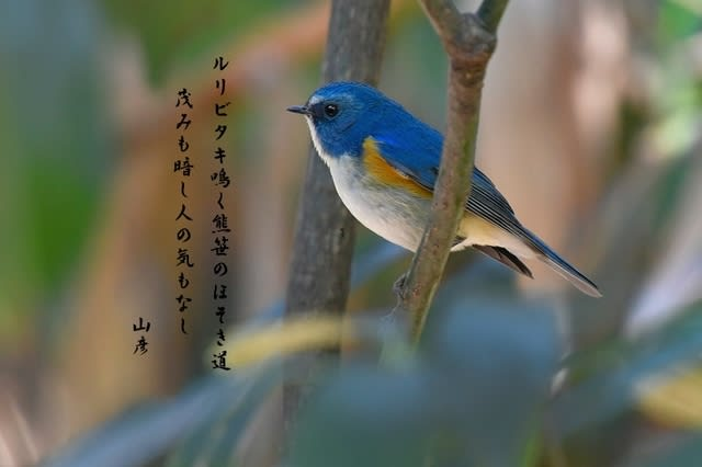 ルリビタキ(Red-flanked Bluetail) ❶雄            —2017.1.27—