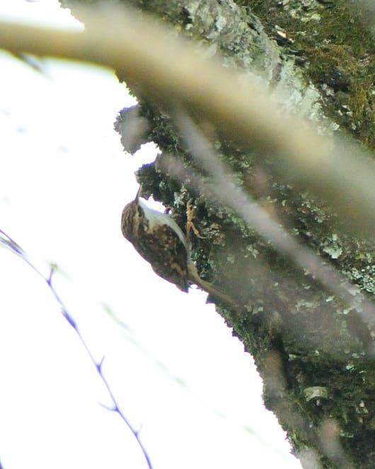 キバシリ(Eurasian Treecreeper)を高野山で初撮影!—12.4.25—