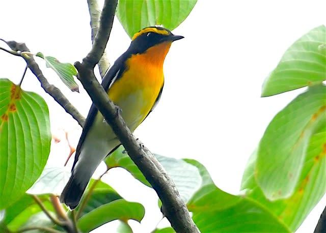 キビタキ(Narcissus  Flycatcher)   秋 の渡り中   —2017.9.23—