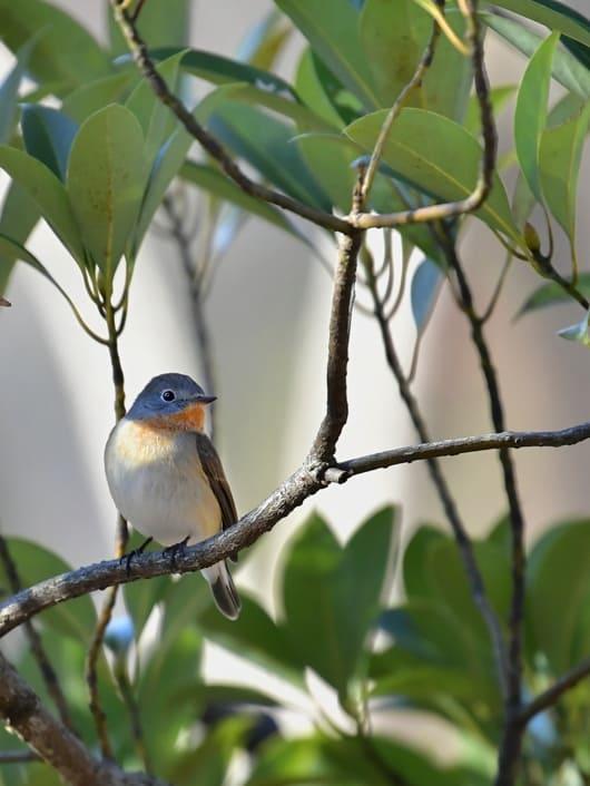 珍鳥ニシオジロビタキ(Red-breasted  Flycatcher)   ⑦   —2016.12.24—