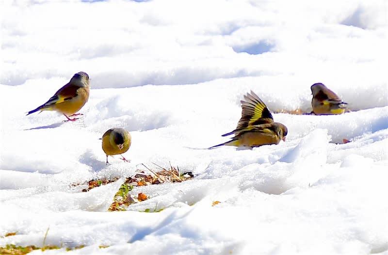 カワラヒワ(Oriental  Greenfinch)     — 2018.1.28—