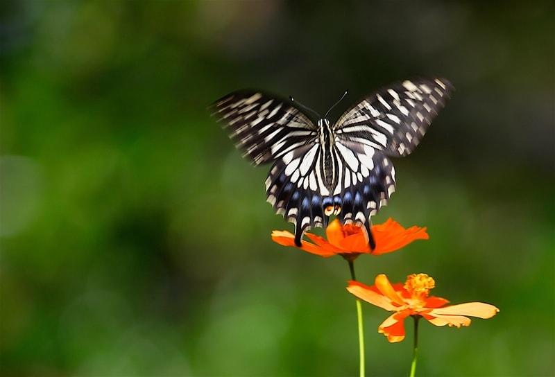 秋の晴れ間のアゲハ蝶&ホウジャク    —2018.10.16—
