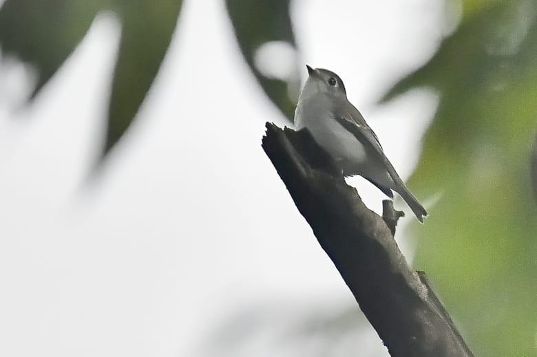 コサメビタキ(Asian Brown Flycatcher)        — 2016.9.24—