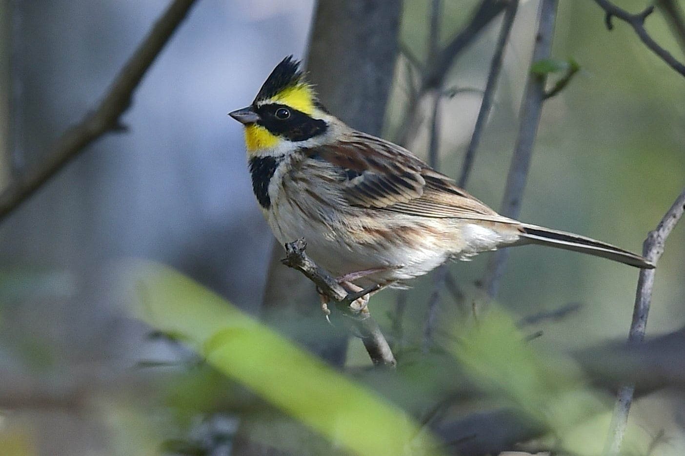 ミヤマホウジロ(Yellow-throated Bunting)      —'15.1.17—
