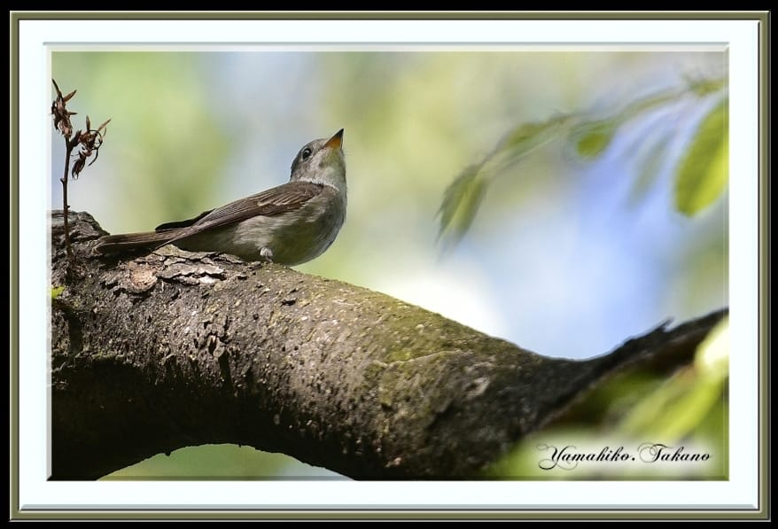 コサメビタキ(Asian Brown Flycatcher)        —15.4.26—