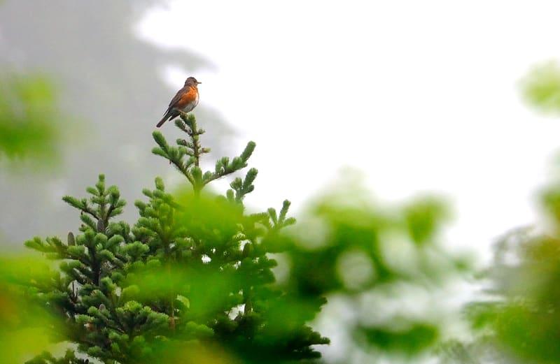 ⑥北海道第6日目—忘れられない 深い森に響きわたるアカハラの声—09-07-03 —