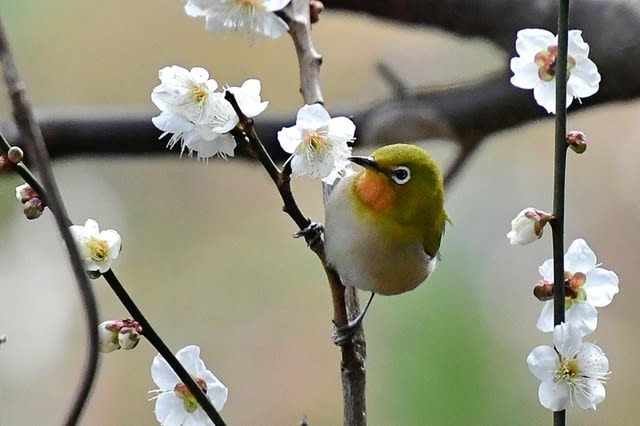 珍種?メジロ(Japanese  White-eye)      —2017.2.20—