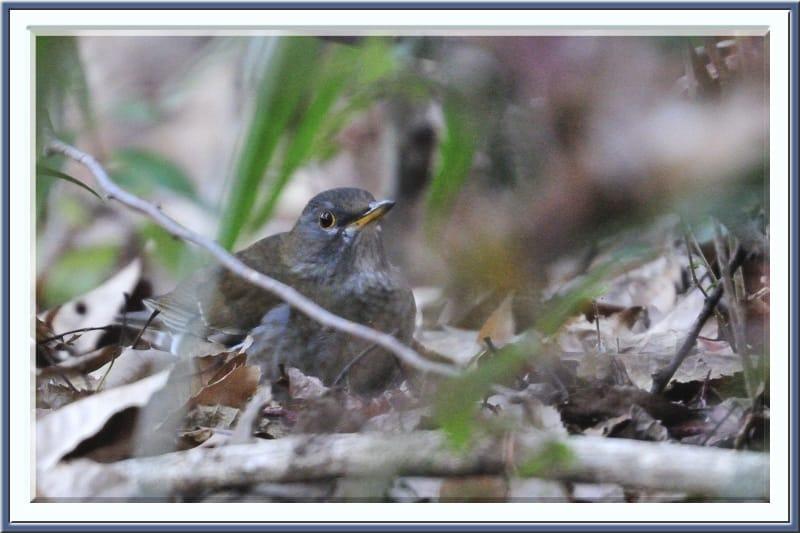 シロハラ(Pale Thrush),アオジ(Black-faced Bunting)も池の仲間に……—11.12.29—