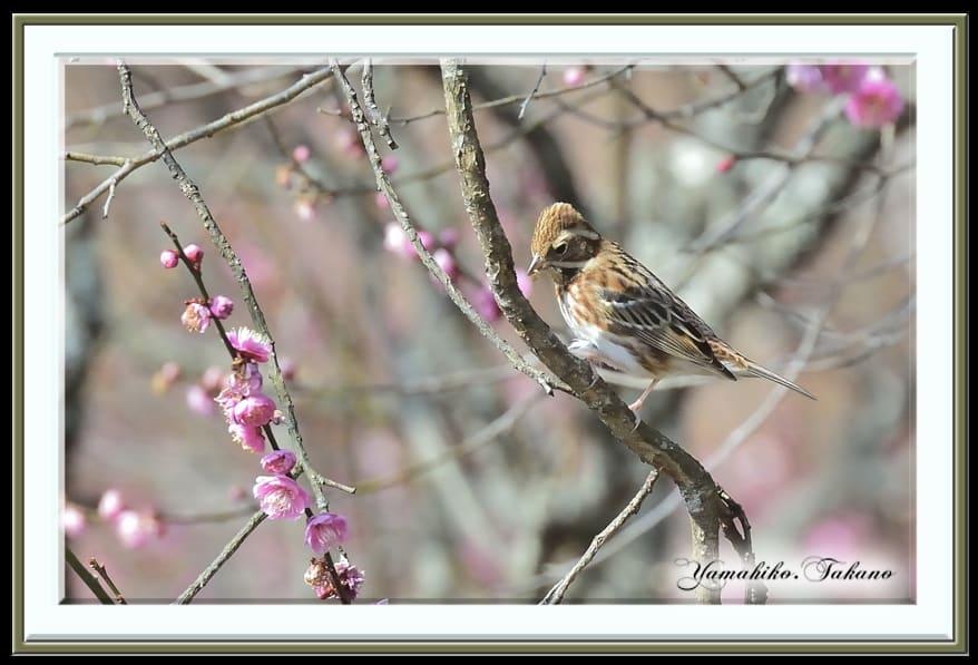 梅花と小鳥達(カシラダカ&メジロ)    —14.2.25—