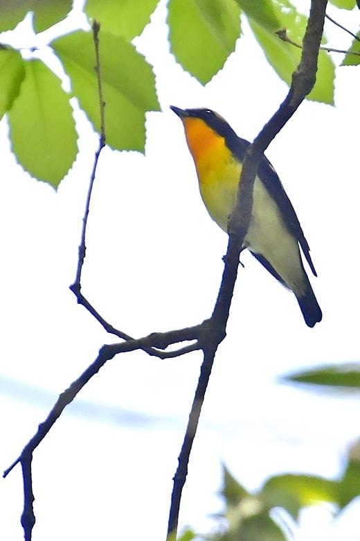 キビタキ( narcissus flycatcher)   —2016.4.20—