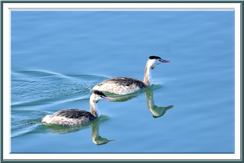 カンムリカイツブリGreat Crested Grebe (Podiceps cristatus)  —12.1.9—