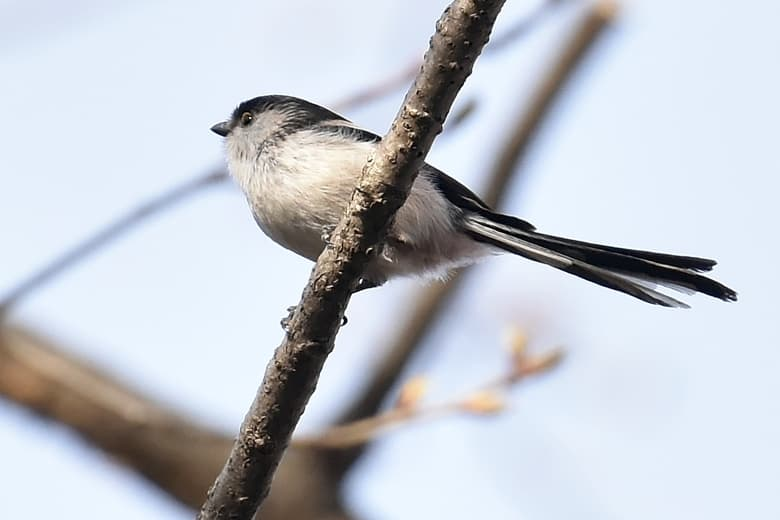 エナガ(Long-tailed tit)  —14.3.27—