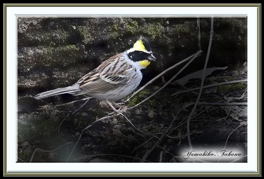 ミヤマホウジロ(Yellow-throated Bunting)     —15.3.20—