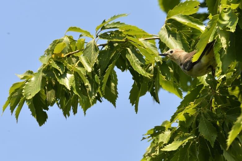 コムクドリ(Chestnut-cheeked Starling)       —13.4.28—