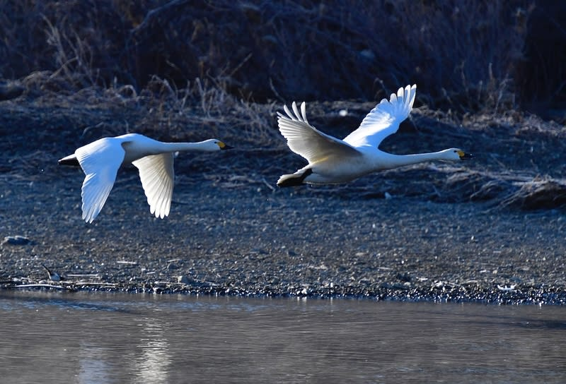 コハクチョウ(Tundra Swan) No.-2      — 2018.1.17—
