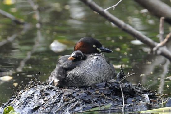春本番、カイツブリ ファミリーが子育て中—2008.4.17—