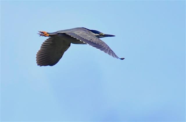 ササゴイ(Striated Heron)飛翔ー舳倉島特集-20