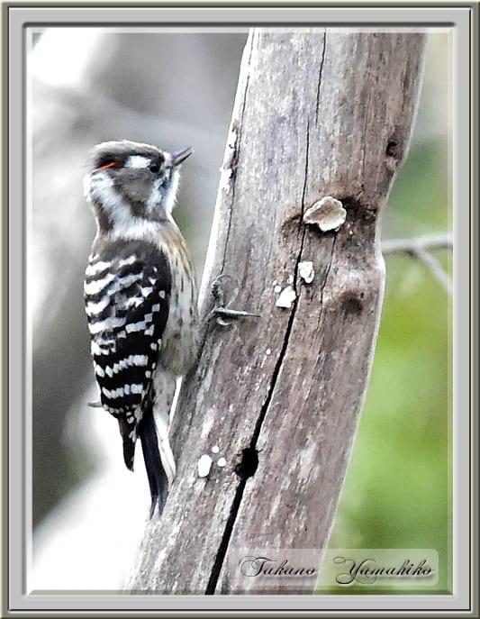 コゲラ(Japanese Pygmy Woodpecker)     —15.1.29—