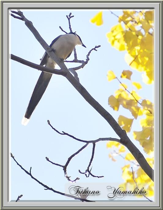 オナガ(Azure-winged Magpie)  —'14.12.5—