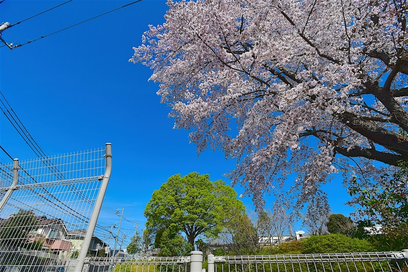桜-さくら-サクラ      —2018.3.30—