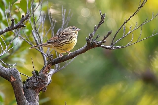 アオジ(Black-faced Bunting) —2017.3.29—