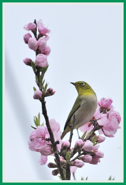 メジロと桃の花  —11.3.23—