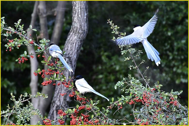 オナガ(Azure-winged Magpie)  —'16.1.21—