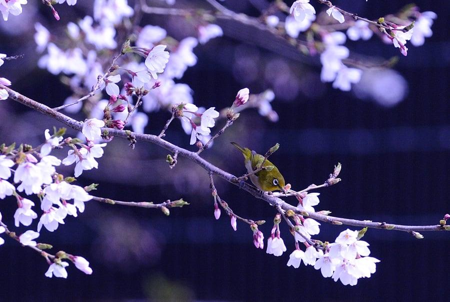 夕べは春雷を伴った春の嵐。今朝はやっとさくらも8部咲き。開花後12日も満開お預け。(09.4.2)