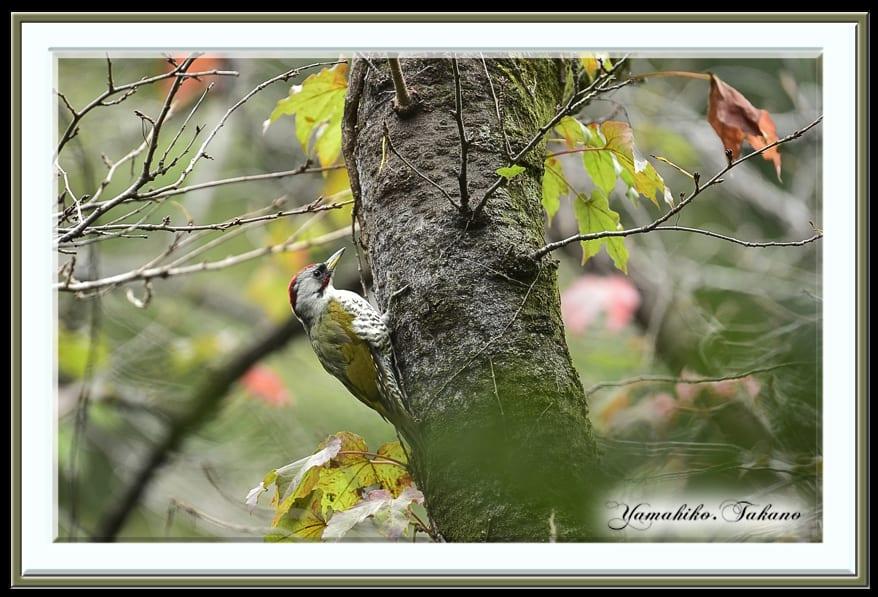アオゲラ(Japanese Green Woodpecker)      —15.9.25—