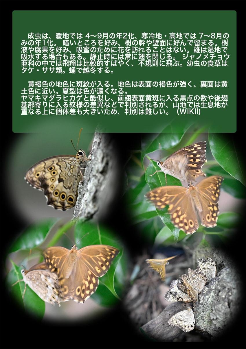 サトキマダラヒカゲーThe Goschkevitschi's Labyrinth(里黄斑日陰)    —'14.8.16—