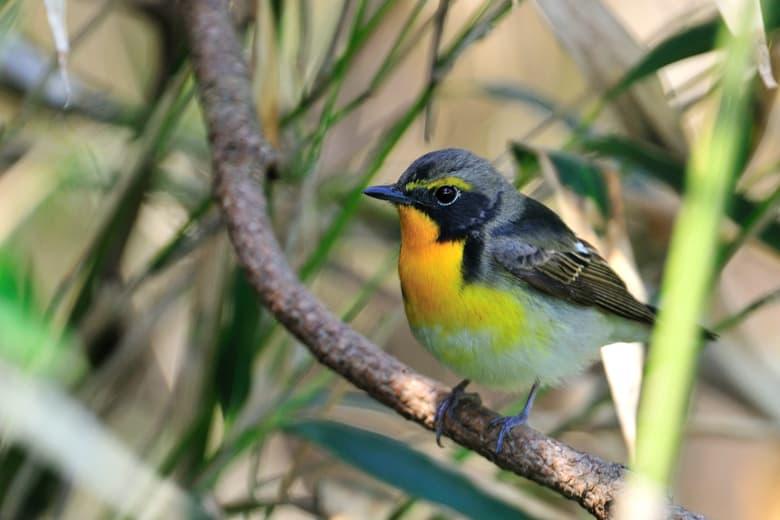 舳倉島では雀に逢うよりキビタキやオオルリやコサメビタキに逢う事が多いのです。—2012.5.5~8—