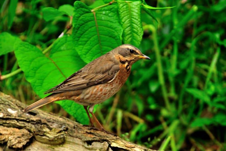 舳倉島で遭遇したツグミ科の小鳥たち—2012.5.7—