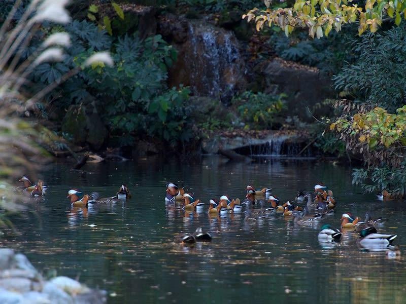 オシドリ(Mandarin Duck)-(鴛鴦)のいる風景  —2018.12.13—