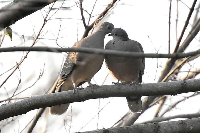 キジバト(Oriental Turtle Dove) の春   —13.3.25—