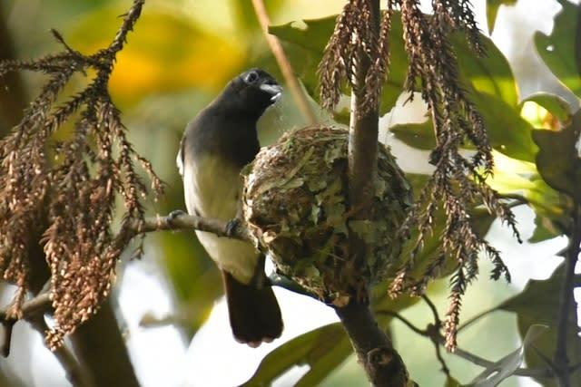 サンコウチョウ(Japanese Paradise  Flycatcher)           — 2017.6.23—