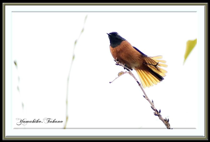 ジョウビタキ(Daurian Redstart )          —'14.10.23—
