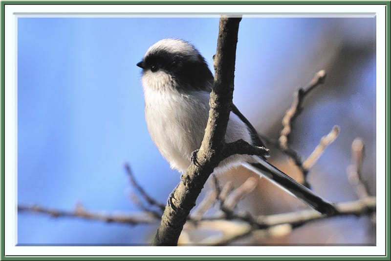 エナガ(Long-tailed Tit)の若鳥—2011.12.11—