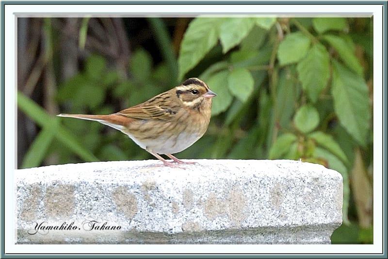 秋の舳倉島で逢った野鳥たち-K.シロハラホウジロ(Tristram's Bunting)–12.10.10~12–