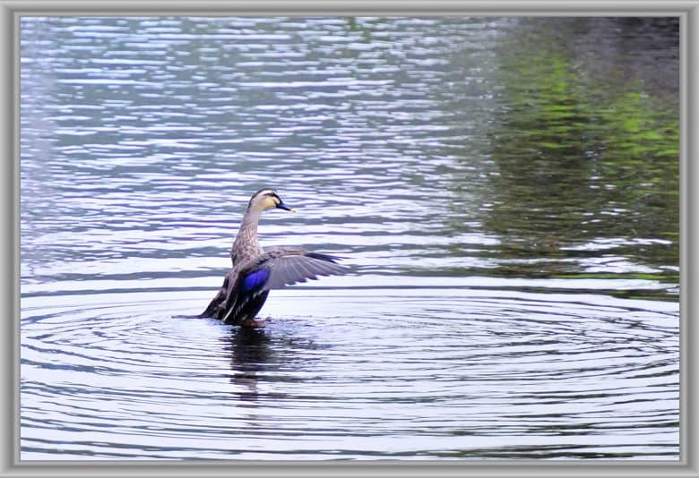池と川の野鳥達のいる風景—11.10.24—
