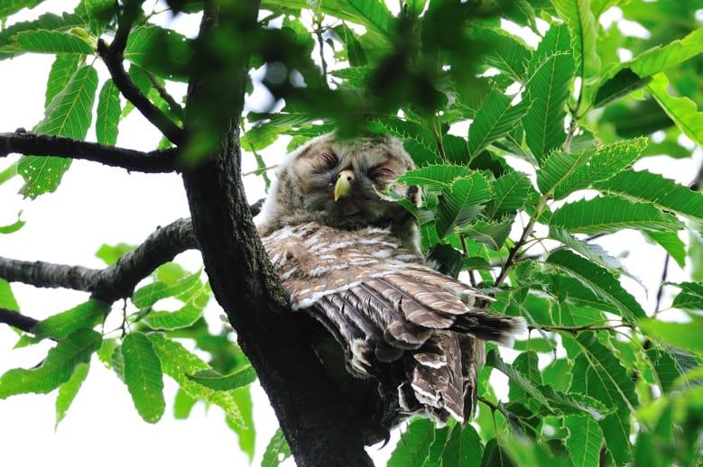 フクロウUral Owlの幼鳥がスクスク育っています。—12.6.18,19—
