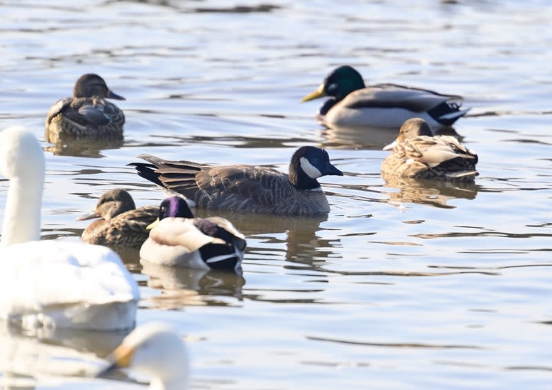シジュウガラガン(Canada Goose)       —2019.1.17—