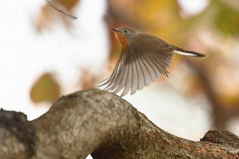珍鳥ニシオジロビタキ(Red-breasted  Flycatcher)   ④     —2016.12.7—